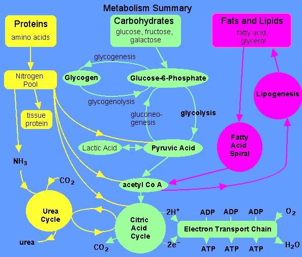 basic metabolism relevant to type 2 diabetes cure and reversal rh cureddiabetes com